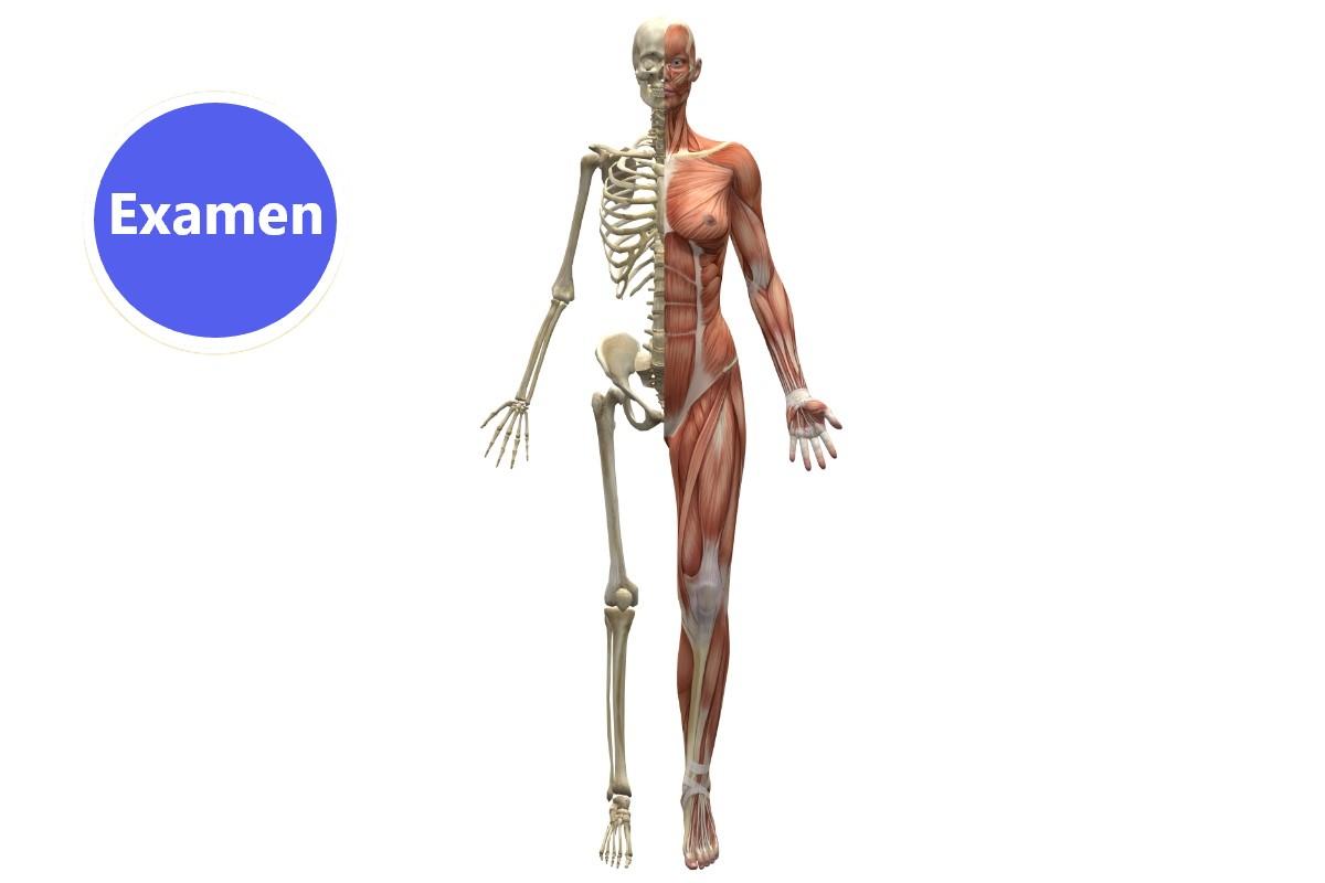anatomie exa